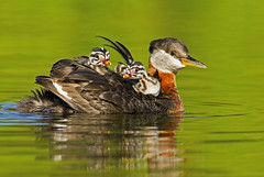 Red Necked Grebe With Chicks Riding On Back (AlaskaFreezeFrame) Tags: summer cute nature water beautiful birds alaska swimming canon outdoors divers babies outdoor wildlife lakes telephoto chicks raft waterfowl 400mm grebes redneckedgrebe lobedtoes alaskafreezeframe
