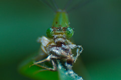 One bug is having it's lunch with another bug... (MRF Rayhan) Tags: macro green eye closeup bug insect leaf fotografia damselfly bangladesh fotografo exploreit