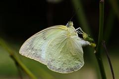 Catopsilia pomona (female, form crocale) 遷粉蝶 (雌 無紋型)