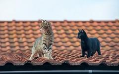 junior (10) - & sister (Vlado Ferenčić) Tags: cats animals kitty croatia junior catsdogs hrvatskozagorje nikkor8020028 zagorje nikond600 klenovnik