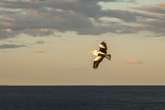 On approach (.Stephen..Brennan.) Tags: bif bird fa77 pelican pentaxk3 seascape stockton 77mm