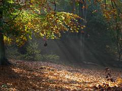 Rays (ArtGordon1) Tags: uk november autumn england season eppingforest autumnleaves sunrays essex autumnal beechtrees highbeach 2015 davegordon davidgordon artgordon1 daveartgordon daveagordon davidagordon