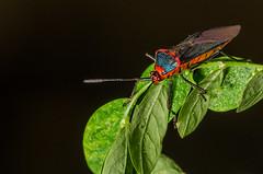 Colorful bug (mcvmjr1971) Tags: camera macro brasil lens nikon flash sb600 sigma off paulo so f28 150mm difuser difusor d7000 mmoraes