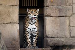 Toronto Zoo - October 18, 2015 (MorboKat) Tags: toronto animal cat mammal zoo feline bigcat jaguar animalia mammalia carnivore torontozoo panthera carnivora felidae pantheraonca