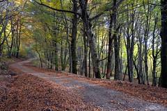 La strada nella faggeta del monte Fogliano (giorgiorodano46) Tags: november italy rome bosco faggio faggi faggeta fogliesecche monticimini stradanelbosco montefogliano novembre2015 giorgiorodano
