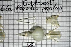 Goldcrest (JRochester) Tags: skeleton skull bones regulus bone pelvis goldcrest sternum mandible