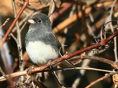 dark-eyed junco at Seed Savers Exchange IA 854A5070 (lreis_naturalist) Tags: county junco seed reis iowa larry savers exchange darkeyed winneshiek