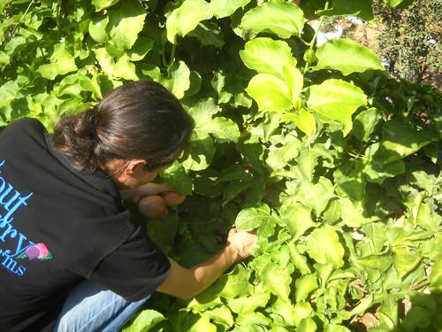 Sarah picking Passion Fruits Deirkoubel a Oct 17, 2015
