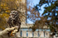 Eastern Screech-Owl (Avelino Zepeda) Tags: birdsofprey birds hunter owl easternscreech bird cute notapet easternscreechowl guelph ontario canada avelinozepeda avelinozepedaphotography