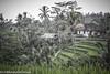 Indonésie - Bali (Steph le Gnou) Tags: voyage bali asie tourdumonde indonésie batukaru unmondedegnous