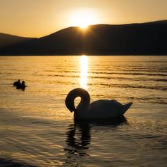 """The Golden """"8"""" (Yuga Kurita) Tags: lake bird water sunrise japanese swan chinese swans lucky fortunate eastasia yamanaka yamanakako"""