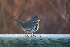 Fox Sparrow (Creation Declares) Tags: park bird bc valley campbell hermit thrush