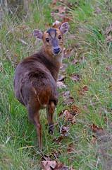 Over my shoulder (Wildlife Online) Tags: animal mammal wildlife bedfordshire deer whipsnadezoo muntjac cervidae barkingdeer muntjacdeer muntiacus muntiacusreevesi reevesmuntjacdeer britishdeer ukdeer marcbaldwin wildlifeonline introduceddeer invasivedeer