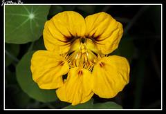 Taco de reina, capuchina (Tropaeolum majus) (jemonbe) Tags: flor tropaeolum capuchina tropaeolummajus peln tacodereina espueladegaln jemonbe marauela