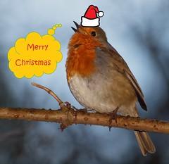 Merry Christmas 2015 (petermit2) Tags: robin erithacusrubecula fairholmes derwent ladybower derbyshire christmas peakdistrict merrychristmas explored xmas