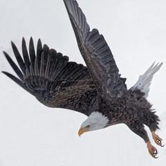 Another Eagle Flight Shot (dcstep) Tags: urban usa snow nature flying wings colorado adult eagle baldeagle urbannature allrightsreserved bif birdinflight cherrycreekstatepark canon7dmkii ef500mmf4lisii ef14xtciii copyright2015davidcstephens y6a6403dxotiffpsdxosrgb dxoopticspro1053