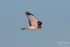Male Northern Harrier - the gray ghost - in flight