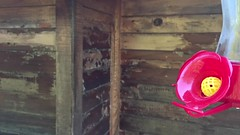 Hummingbird Slow-Mo ((Jessica)) Tags: wildlife wildlifewednesday santamonicamountains wings feeder flight gorillapod iphone chirp hummingbird slowmo topanga nature california slowmotion hummingbirds bird video ornithology hummingbirdinflight slow motion iphone6s iphoneography
