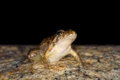 R-de-focinho-pontiagudo, Iberian Painted Frog (Discoglossus galganoi) (xanirish) Tags: rdefocinhopontiagudo iberianpaintedfrogdiscoglossusgalganoinunoxavierlopesmoreirangc ngc nuno xavier moreira discoglossusgalganoi iberianpaintedfrog