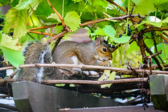 Stealing my grapes! (georgeplakides) Tags: squirrel grapes vine pergola sigma150600sport