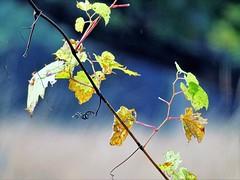 grapevine (Lana Pahl / Country Star Images) Tags: catchycolors ilovenature autumncolors autumnseason bokeh closeupsbokehanddof foreverautumn petalsandfrost
