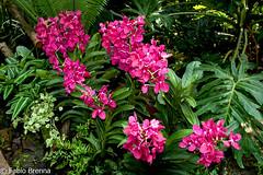 DSC_0016 (Fabio Brenna) Tags: flower flowers fiori fleurs flores colors orchid orchidea orchidee orchids orqudeas orchides