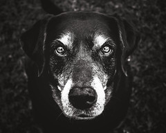 Ole Faithful (tonyajbender) Tags: dog old senior gray lab faithful sweet soul pet fur niece kid family