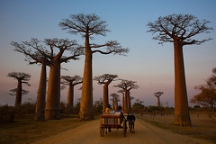 Baobab Avenue at Sunset (Palnick) Tags: baobab madagascar landscape tree plant nature africa avenue african sky scenic sunset travel tropical vegetation endemic beautiful alley outdoor tourism morondava evening scenery exotic natural baobabs adansonia malagasy environment flora grandidieri dry allee large vibrant twilight trunk old native sunrise extraordinary color sunlight background excursion silhouette panorama road