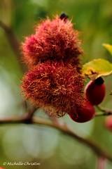 Rosenwespennest  Hagebutten (Michelle Christin) Tags: rosenwespennest hagebutten outside outdoor wald busch makro macro tamron canon 60d