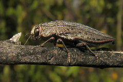 Ectinogonia buqueti (Javier Gross) Tags: buprestidae insectos chile insectosdechile insects arthropods animals macro nature naturaleza faunadechile
