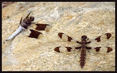 IMG_0883 Love Rocks 8-31-16 (arkansas traveler) Tags: dragonflies bichos bugs insects commonwhitetail nature naturewatcher natureartphotography zoom telephoto