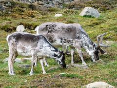 Svalbard Reindeer (Rangifer tarandus platyrhynchus) (David Cook Wildlife Photography) Tags: svalbardreindeer rangifertarandus rangifertarandusplatyrhynchus spitsbergen svalbardarchipelago norway davidcookwildlifephotography kookr sonya77mkii sonyilca77m2 sonysal70400g2 2016davidcookwildlifephotographyallrightsreserved