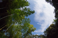 Bamboos (nak.viognier) Tags: bamboo ryokuchipark osaka 竹藪 緑地公園 olympusepl3 lumixgfisheye8mmf35