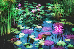 Water Lilies Garden (Jenny Pics) Tags: water waterlilies colour flowers blue green greenery blooms purple pink processing creative