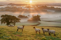 A coat of many colours (http://www.richardfoxphotography.com) Tags: eastogwell denbury southdevon southhams sunrise mist misty fog foggy sheep