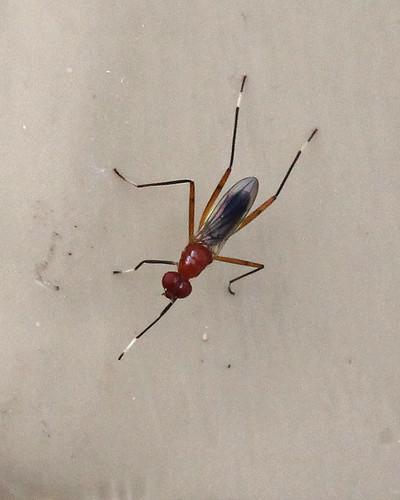 Stilt-legged Fly (Grallipeza nebulosa)