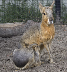 South American Patagonian Cavy rodent - Norfolk Zoo Virginia