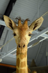 Slender (dhcomet) Tags: nhm animals birds stuffed tring museum herts hertfordshire fauna rothschild taxidermy giraffe tall young head face slender thin