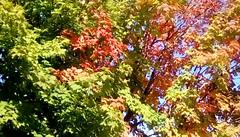 Autumn Colors (Maenette1) Tags: autumn coloredleaves yard menominee uppermichigan flicker365