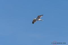 Yellow-legged Gull 1DX12777.jpg (alanmcbride1) Tags: france occitanie gruissan languedoc bird birds yellowleggedgull rocdeconhillac aude