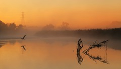 A heron over the River Exe (matt.clark25) Tags: heron flight fly reflections reflection exe river riverexe birds fog mist dawn sunrise pink orange still stillness nature