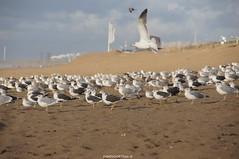DSC00384 (ZANDVOORTfoto.nl) Tags: meeuwen meeuw seagul seagull seaguls beach beachlife strand strandleven zand zandvoort aan zee bloemendaal herfst autumn october