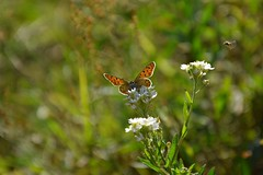 hard life... (JoannaRB2009) Tags: butterfly flower fly insect nature green meadow grass closeup autumn fall