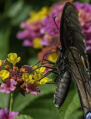 Butterfly_SAF0625-2 (sara97) Tags: butterfly flyinginsect insect missouri nature outdoors photobysaraannefinke pollinator saintlouis urbanpark copyright2016saraannefinke
