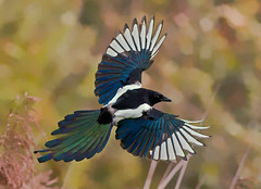 Eurasian Magpie (Pica pica ) - An autumn pie (Mid Glam Sam1) Tags: inflight magpie crow corvidae autumn reedbed picapica