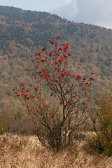 Mountain Ash (Ginny Williams Photography) Tags: fall autumn raleighnorthcarolinaphotographer roan roanmountain mountainash tree redberries mountain mountains red bokeh landscape tennessee photography nikon northcarolinaphotographer northcarolinafineartphotographer printsforsale printsforpurchase