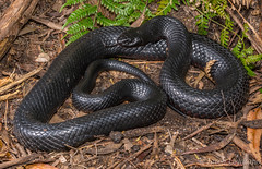Red-bellied Black Snake (Pseudechis porphyriacus) (JLoyacano) Tags: australia blacksnake bush jacobloyacano snake venom venomous animal elapid elapidae nature pseudechis pseudechisporphyriacus redbelliedblacksnake wildlife