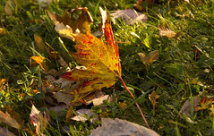 Spotted (rumimume) Tags: potd rumimume 2016 niagara ontario canada photo canon 550d t2i sigma autumn fall leaf outdoor red yellow maple mapleleaf sunlight