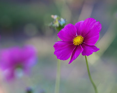 Airy Cosmos... (zoomclic) Tags: canon flower bokeh nature dreamy foliage purple yellow green garden eos5dmarkll cosmos tse90mmf28