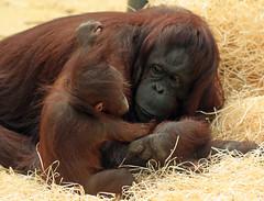 orangutan ouwehands JN6A6875 (j.a.kok) Tags: orangutan orangoetan orang monkey motherandchild moederenkind ape aap primaat primate ouwehands ouwehandsdierenpark ouwehandszoo mammal zoogdier